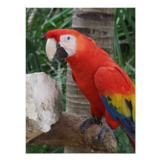 Scarlet Macaw Photography Poster