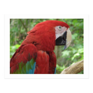 Scarlet Macaw Postcard Postcards