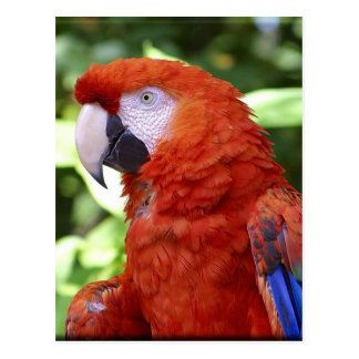 Scarlet Macaw Post Cards