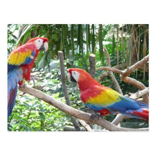 Scarlet Macaw Postcards