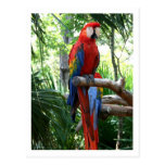 Scarlet macaw, red macaw photograp design postcard
