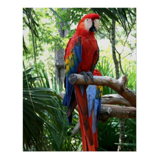 Scarlet macaw, red macaw photograp design poster