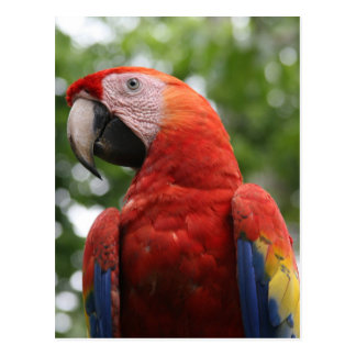 scarlet macaw red post cards