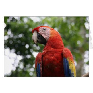 scarlet macaw roja card