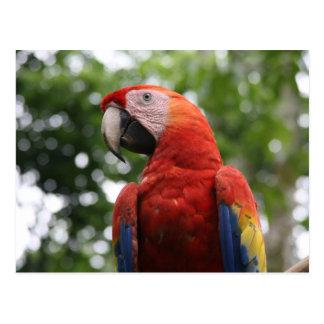 scarlet macaw rojo postcard