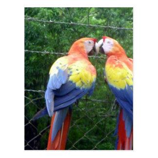 scarlet macaws postcard