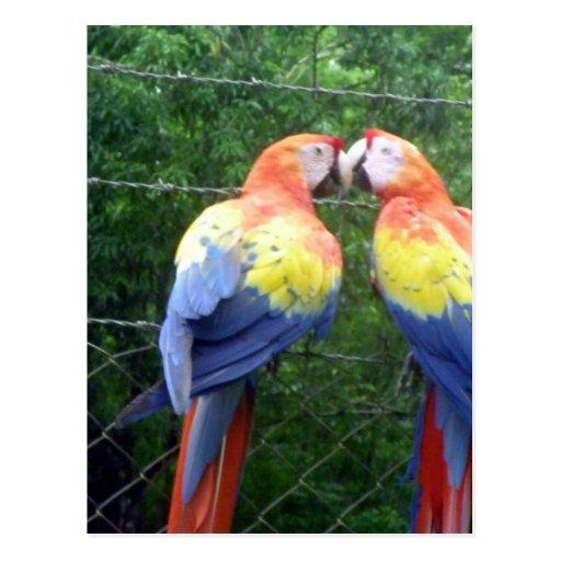 scarlet macaws postcards