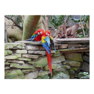 Scarlet Macaws Poster