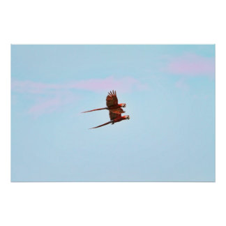 Scarlet Mackaw Couple Flying Poster