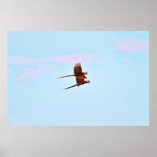 Scarlet Mackaw Couple Flying Print