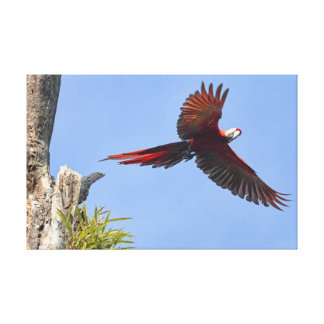 Scarlet Mackaw Flying Stretched Canvas Prints