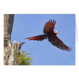 Scarlet Mackaw Flying Greeting Card