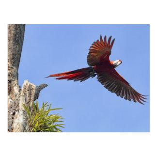 Scarlet Mackaw Flying Postcard