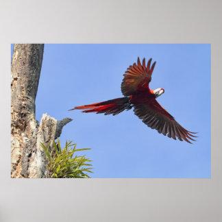 Scarlet Mackaw Flying Print