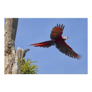 Scarlet Mackaw Flying Posters