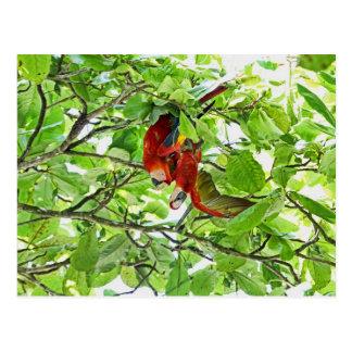 Scarlet Mackaws Picture Postcard