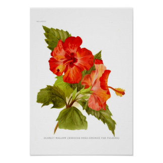 Scarlet Mallow (Hibiscus) Poster
