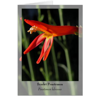 Scarlet Penstemon - Native Notecard Stationery Note Card