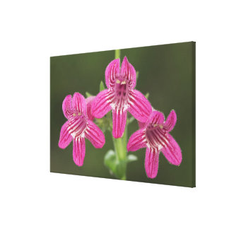 Scarlet Penstemon, Penstemon triflorus, Canvas Print