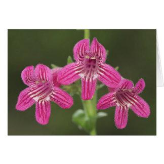 Scarlet Penstemon, Penstemon triflorus, Card