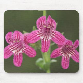 Scarlet Penstemon, Penstemon triflorus, Mouse Pad