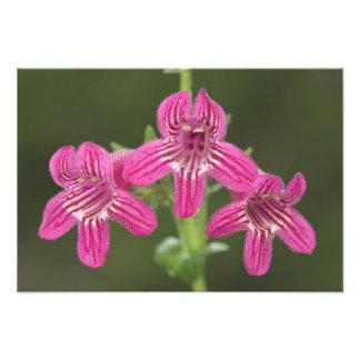 Scarlet Penstemon, Penstemon triflorus, Photo Print
