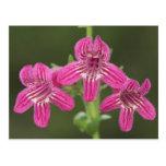 Scarlet Penstemon, Penstemon triflorus, Postcard