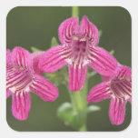 Scarlet Penstemon, Penstemon triflorus, Square Sticker