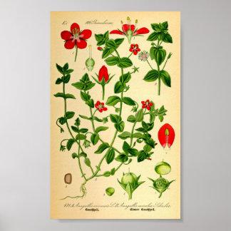 Scarlet Pimpernel (Anagallis caerulea) Poster