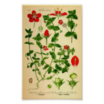 Scarlet Pimpernel (Anagallis caerulea) Print