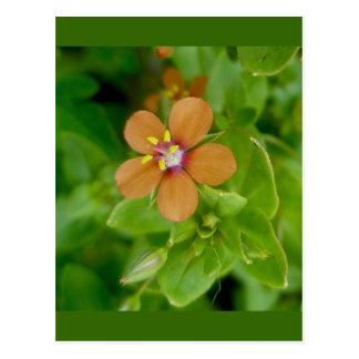 Scarlet Pimpernel Wildflower Post Cards