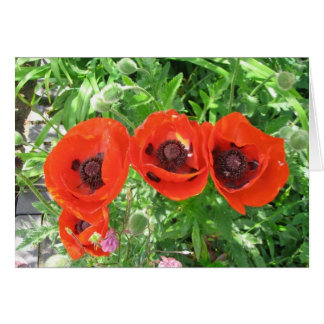Scarlet Poppies in English garden/Greetings card