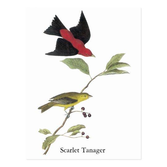 Scarlet Tanager - John James Audubon Postcard