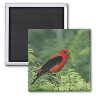 Scarlet Tanager, Piranga olivacea,male on 2 Inch Square Magnet