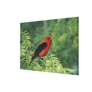 Scarlet Tanager, Piranga olivacea,male on Canvas Print