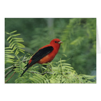 Scarlet Tanager, Piranga olivacea,male on Cards