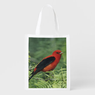 Scarlet Tanager, Piranga olivacea,male on Grocery Bag