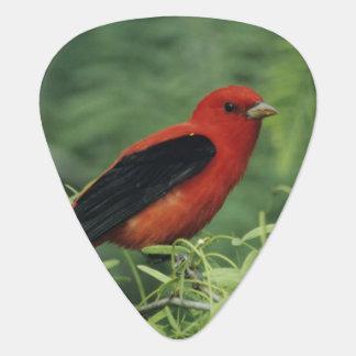 Scarlet Tanager, Piranga olivacea,male on Guitar Pick