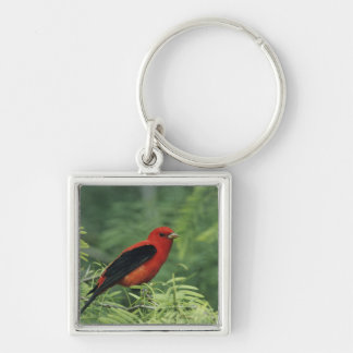 Scarlet Tanager, Piranga olivacea,male on Keychains