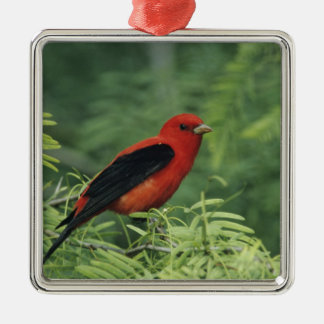 Scarlet Tanager, Piranga olivacea,male on Metal Ornament