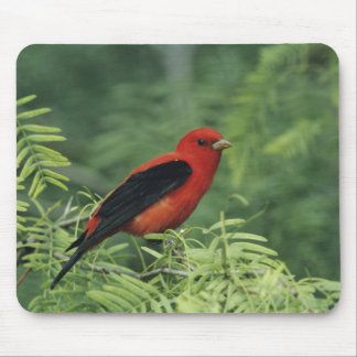 Scarlet Tanager, Piranga olivacea,male on Mouse Pad