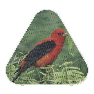 Scarlet Tanager, Piranga olivacea,male on Bluetooth Speaker