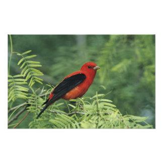 Scarlet Tanager, Piranga olivacea,male on Photo Print