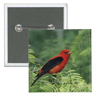 Scarlet Tanager, Piranga olivacea,male on Pinback Button