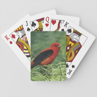 Scarlet Tanager, Piranga olivacea,male on Playing Cards