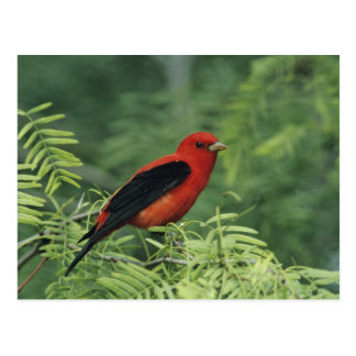 Scarlet Tanager, Piranga olivacea,male on Postcard