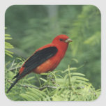 Scarlet Tanager, Piranga olivacea,male on Square Sticker