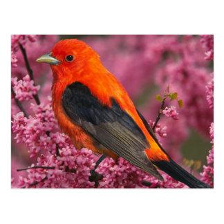 Scarlet Tanager (Piranga olivacea) Postales