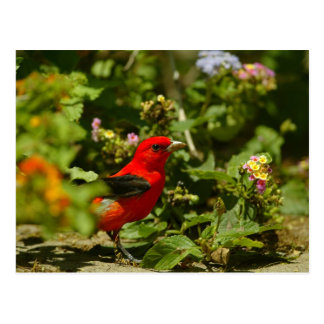 Scarlet Tanager Post Cards
