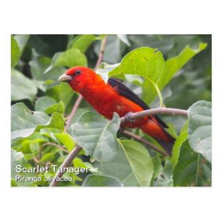 Scarlet Tanager Postcards